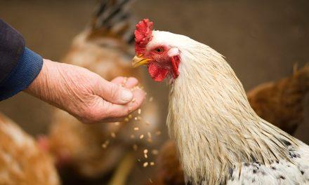 Integralność przewodu pokarmowego ptaków – charakterystyka flory bakteryjnej