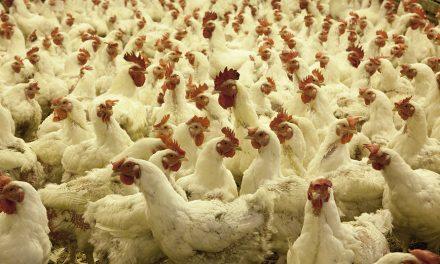 Jakość mięsa szybko rosnących brojlerów