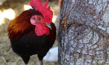 Fizjologia stresu ptaków użytkowych