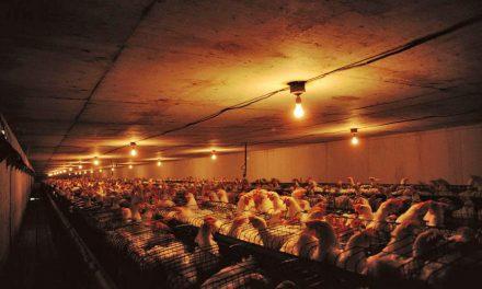 Wpływ światła nacechy mięsnych kur ibrojlerów