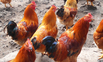 Mięso kapłonów – innowacja czypowrót dotradycji?