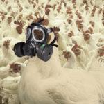 Produkcja gazów szkodliwych w chowie kurcząt brojlerów