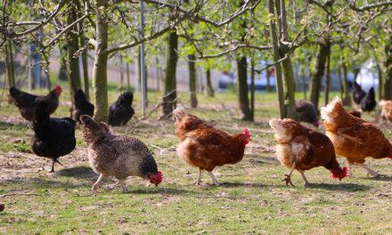 Zniesienie ograniczeń eksportowych dla mięsa drobiowego, produktów drobiowych i pasz dla drobiu do Federacji Rosyjskiej