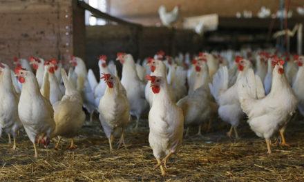 Rynek RPA ponownie otwarty dla polskiego drobiu. Producenci mogą wznowić eksport