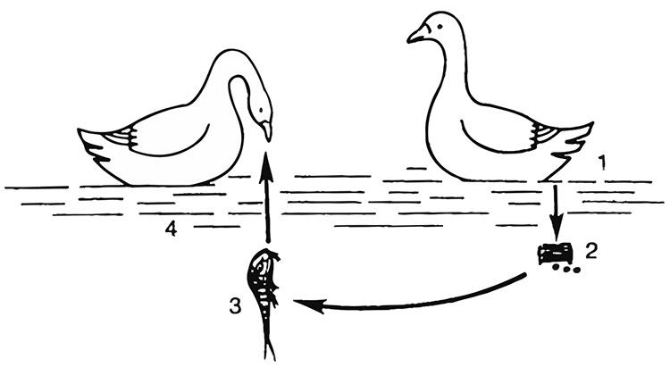 cykl rozwojowy tasiemca