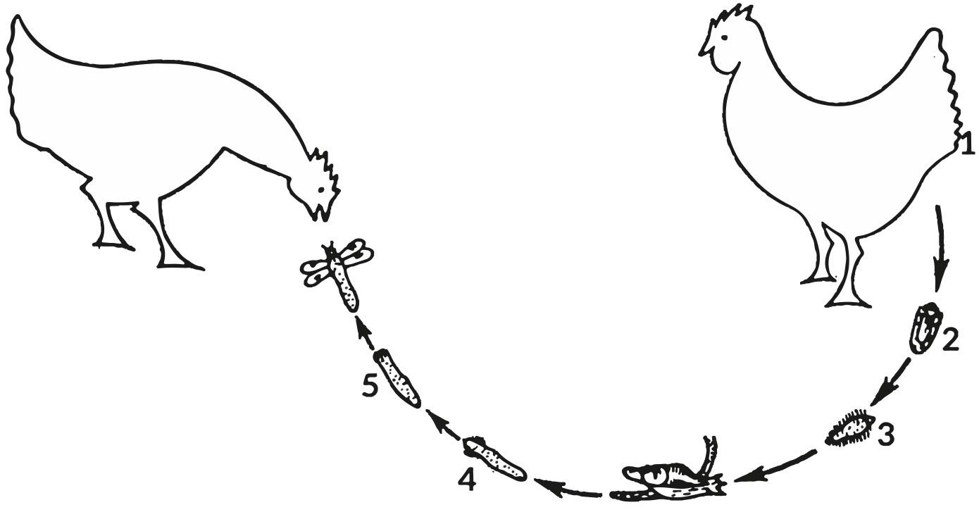 Cykl rozwojowy Prosthogonimus ovatus