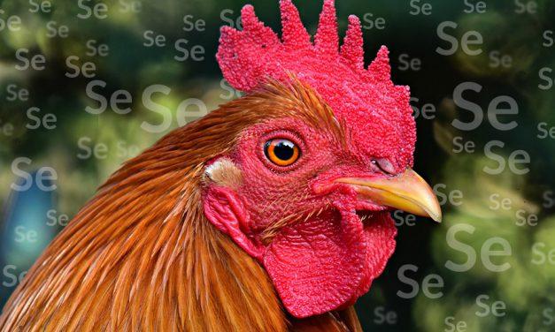 Selen zwiększa odporność u ptaków
