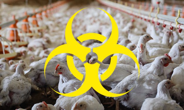 Zakaźny wirus ptasiej grypy atakuje wPolsce