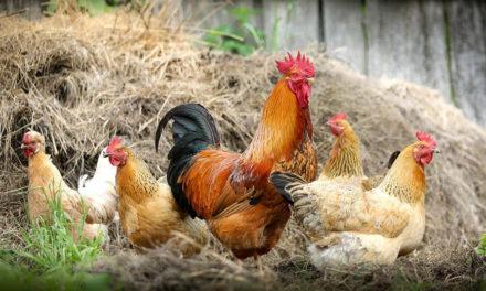 Utrzymanie wysokiego zapłodnienia wrodzicielskim stadzie kur mięsnych