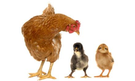 Zrównoważone, genetyczne doskonalenie drobiu wprzyszłości