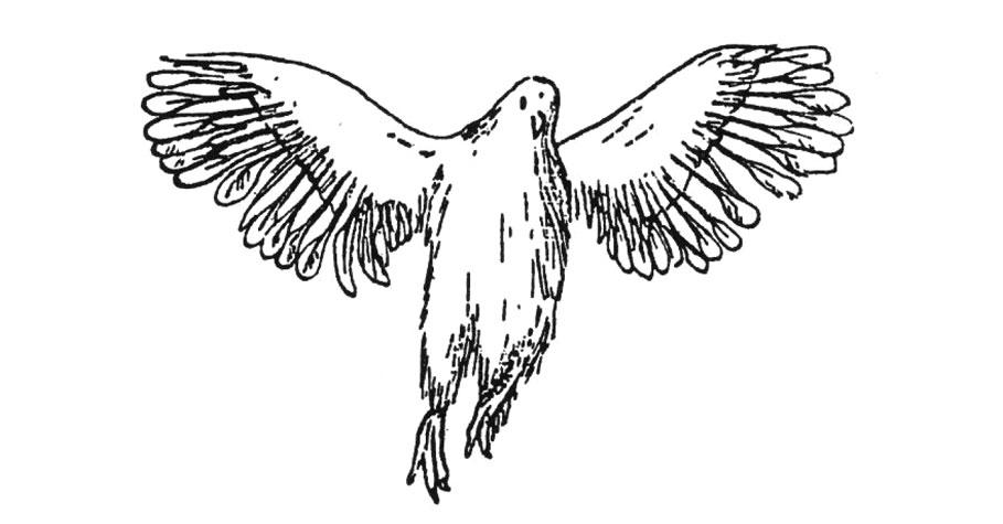 Zaburzenia wupierzeniu skrzydeł u4-tygodniowych kurcząt wskutek niedoboru witaminy D3