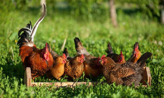 Fitogenne dodatki paszowe iich rola wzwalczaniu zarazków udrobiu